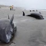 イルカ約150頭が茨城県鉾田市に漂着、地震が心配だ・・・・