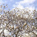 春になると狂ったように咲く、モクレンの大木。