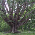 奥日光、西ノ湖のほとりにヤチダモの巨木が待っている。