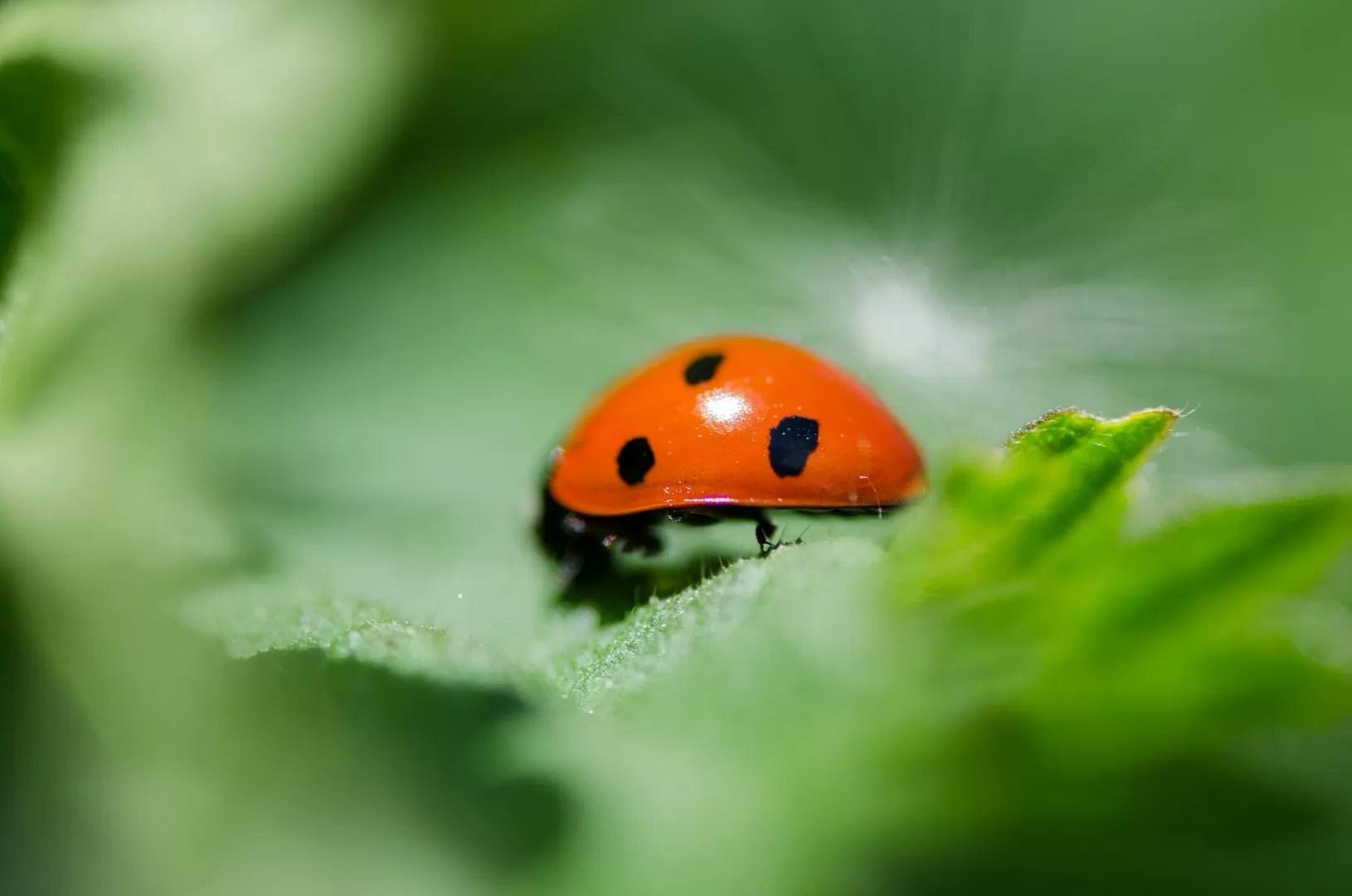 ladybug in shallow photo