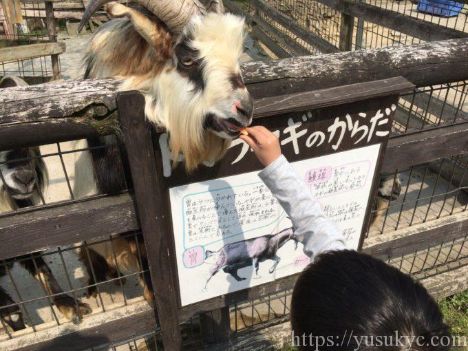 アグリパーク竜王動物ふれあい広場のトカラヤギ