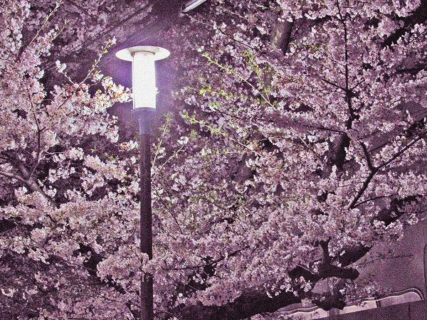 足立区の夜桜と街灯3