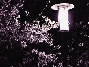 足立区の夜桜と街灯4