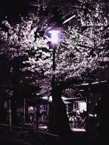 足立区の夜桜と街灯5