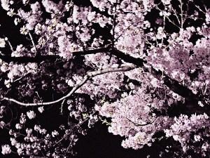 足立区の夜桜2