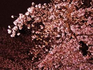 上野公園の桜6
