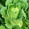 犬が「白菜」を生で食べて大丈夫?下痢やアレルギーの心配や対策は?