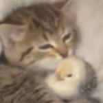 ヒヨコを温める子猫が可愛すぎる