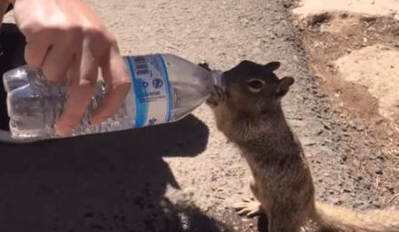 グランドキャニオンに生息しているリスが水を飲む動画