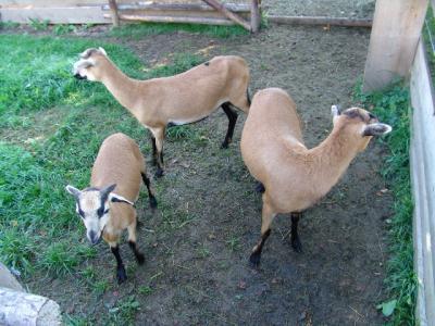Die Kamerun-Schafe im Nachbarsgarten