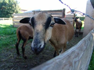 Die Schafe mögen Yves und er mag sie