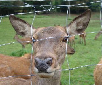 Die Rehe haben aber grosse Ohren