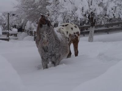 Die Pferde stehen bis zum Bauch im Schnee