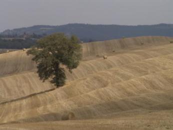 Ein Baum steht im Kornfeld