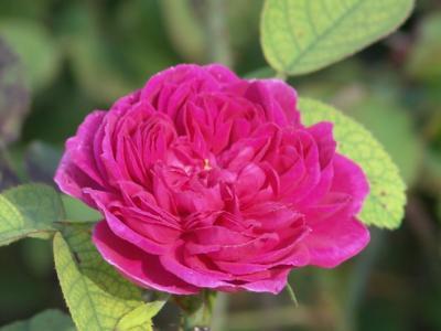 Ich mag Rosen
