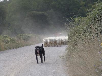 Eine Schafherde auf der Strasse