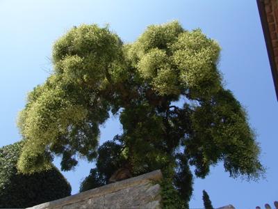 Ein Baum wie Tingeltangelbob