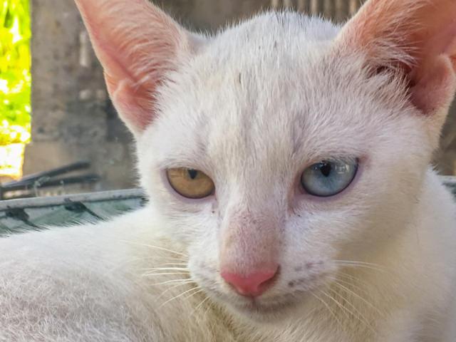 Avete mai visto un gatto con occhi diversi?