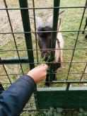 Do da mangiare alle capre