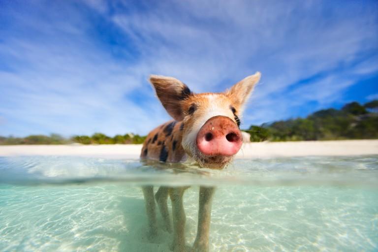 Gris som svømmer ved øya Exuma, Bahamas