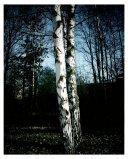 Birches close