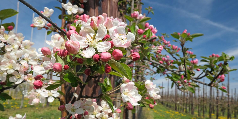 wandelen Zuid-Limburg bloesem wandelingen