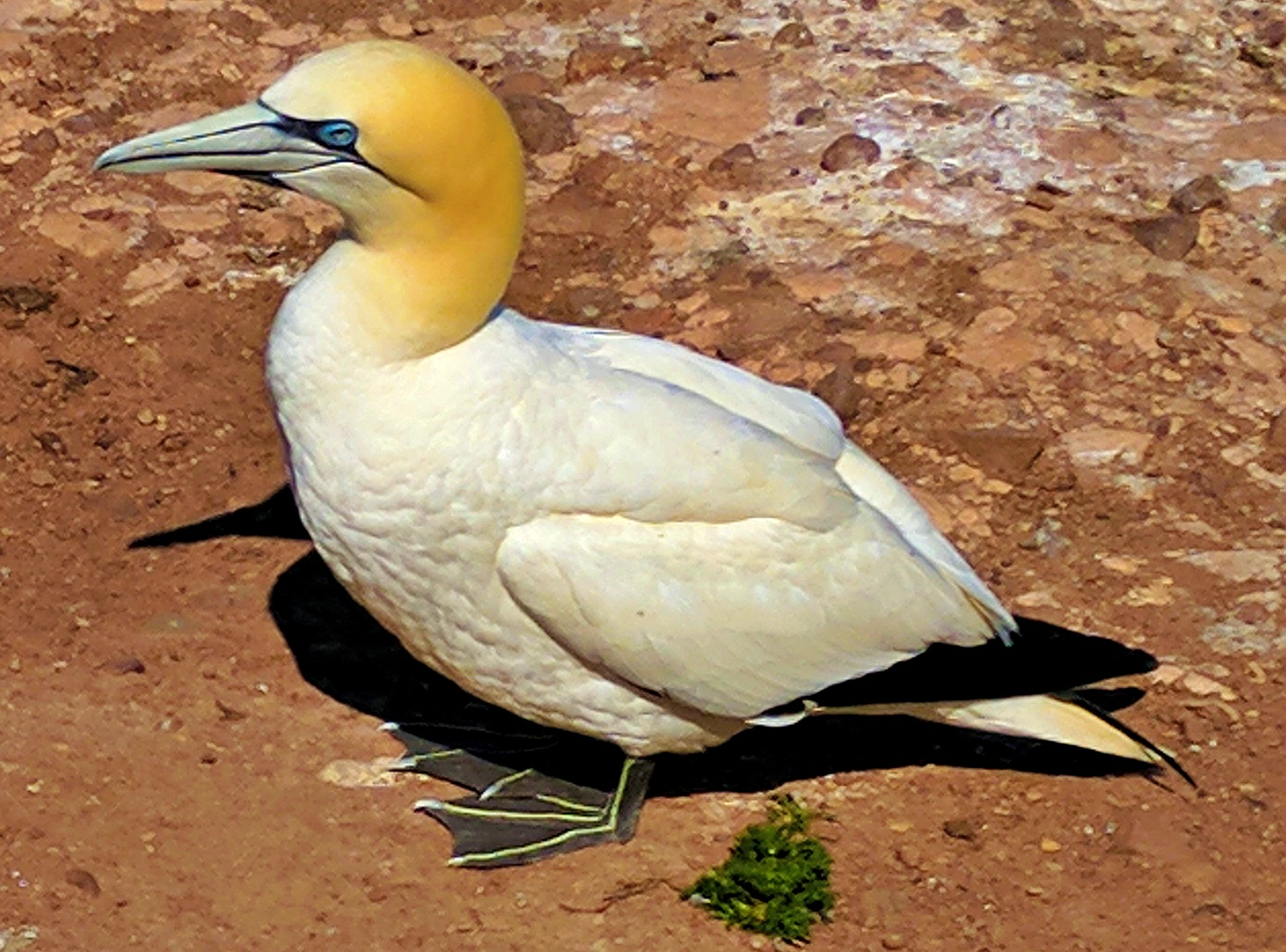 A road trip to the province of Quebec. A single gannet.