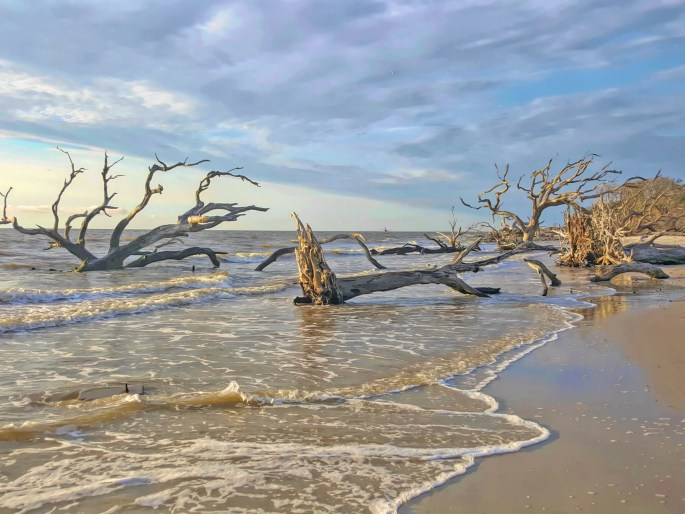 Driftwood beaches of the East Coast. Jekyll Island.