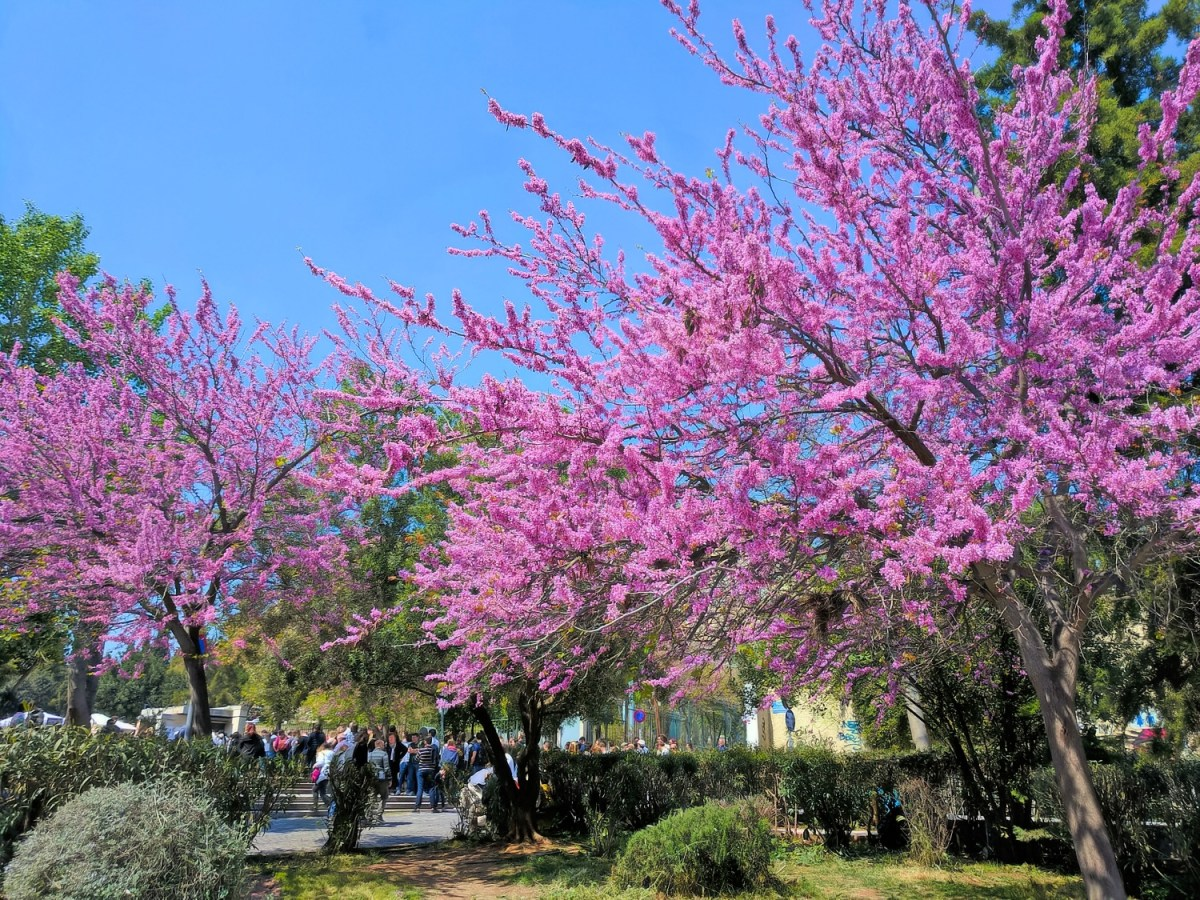 Itinerary for Athens, 2 days. Blooming trees.