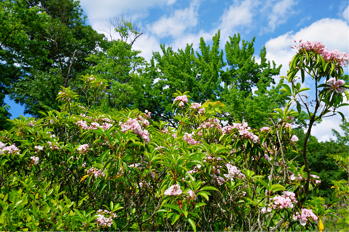 Things to do in Promised Land State Park. Pink rhododendron.