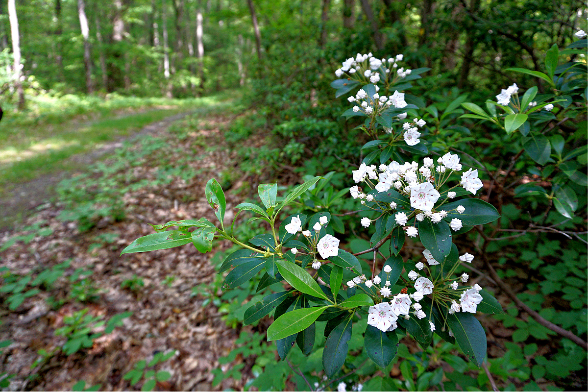 Things to do at Promised Land State Park. Hiking trail with rhododendron.