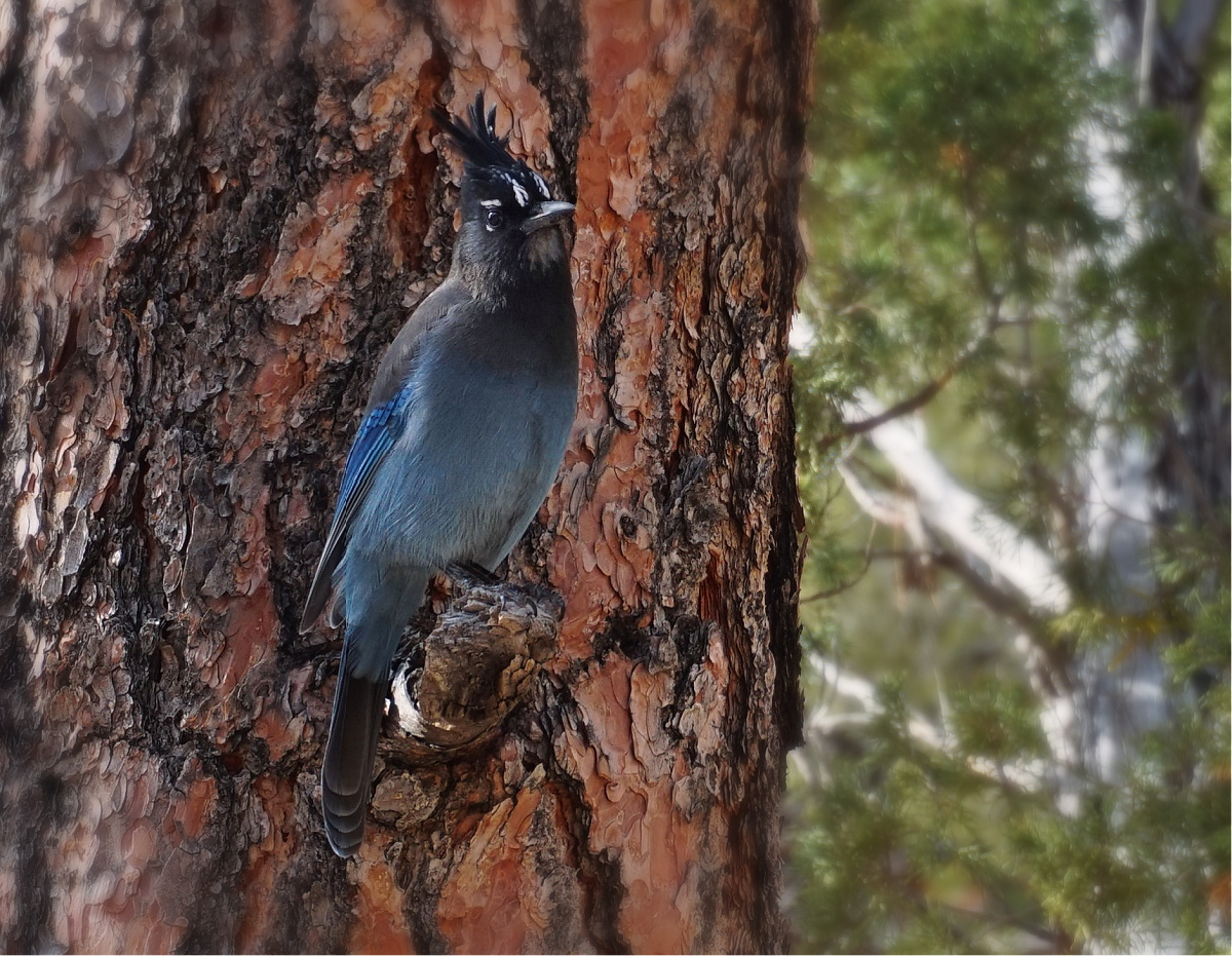 A Steller's jay at Bryce Canyon.