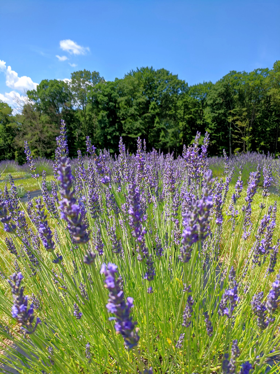 The smell of lavender will make you relax.