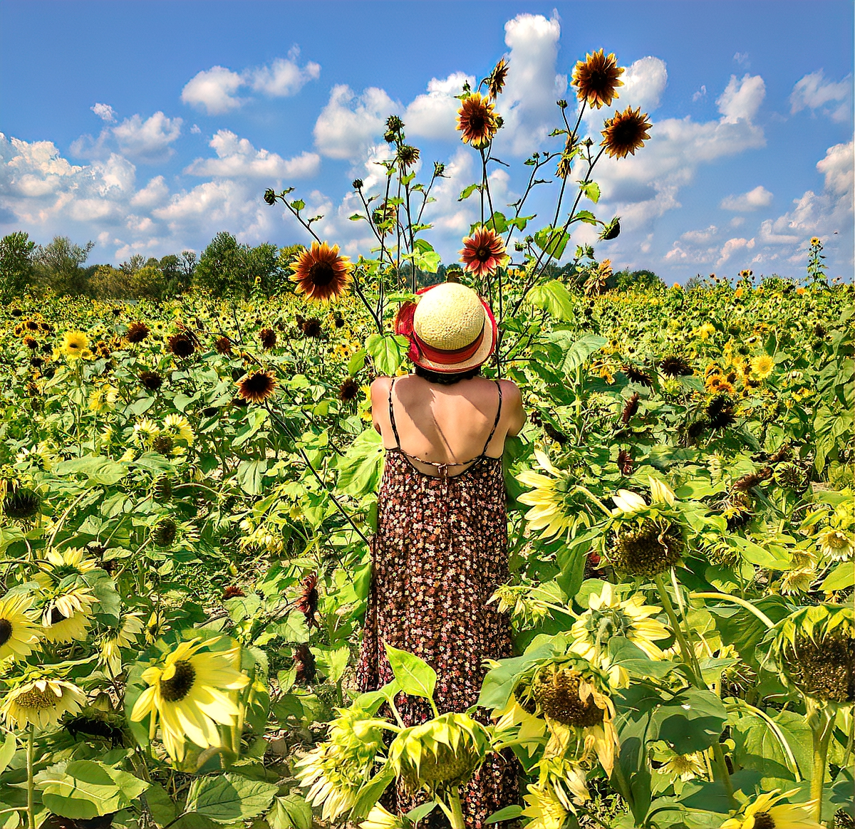Lakeland Orchard & Cidery. Sunflower field.