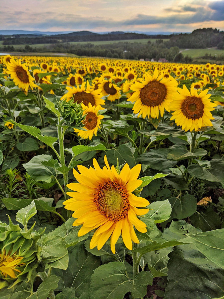 You will find rows and rows of sunflowers at Brown Hill Farm