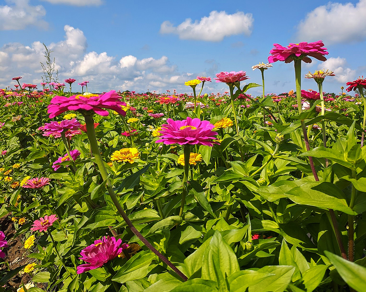 Lakeland Orchard & Cidery. Pink zinnias everywhere.