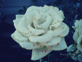 Withered English Tea Rose
