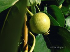 A growing Asian Pear