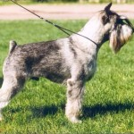 Стандартная стрижка собак
