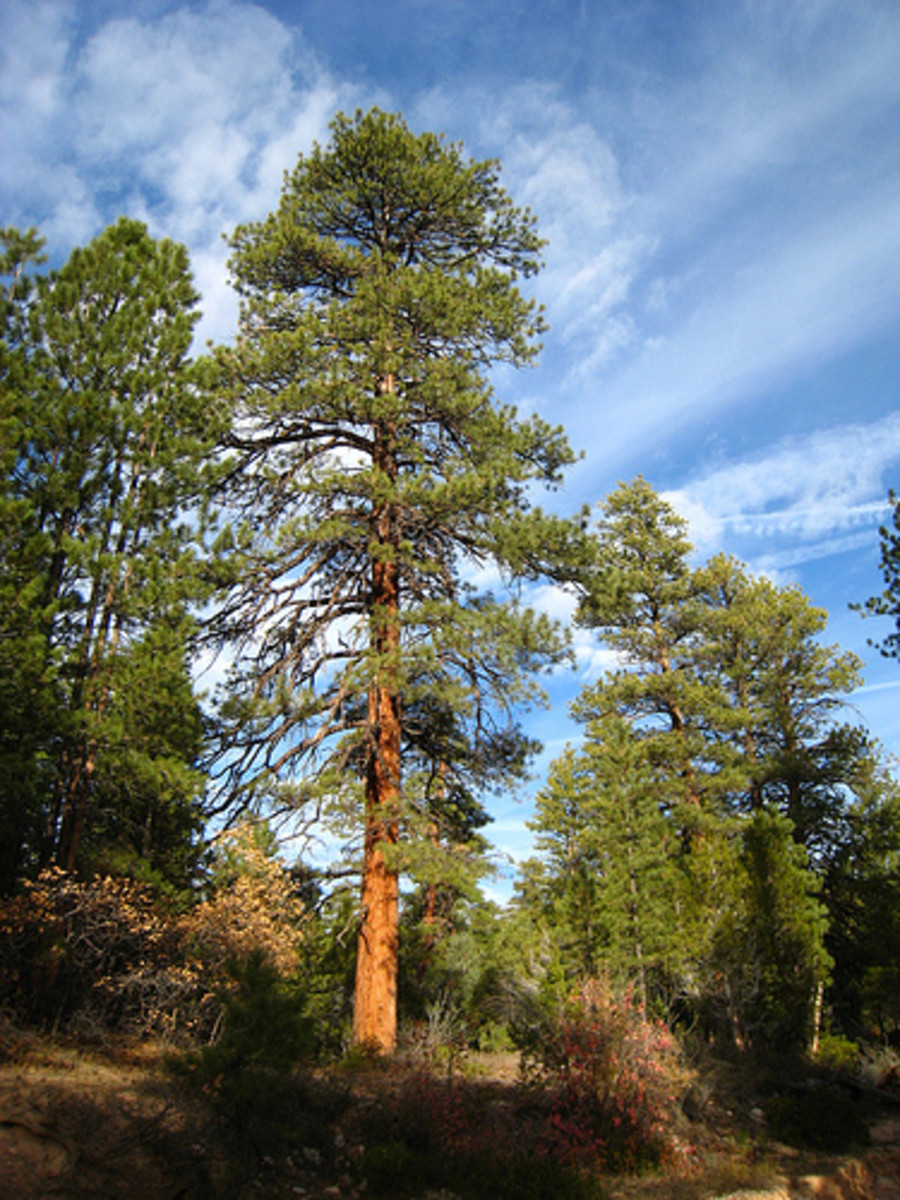 Ponderosa pines are stately trees found in the western fringes of the state and do well in Nebraskas sandhills.