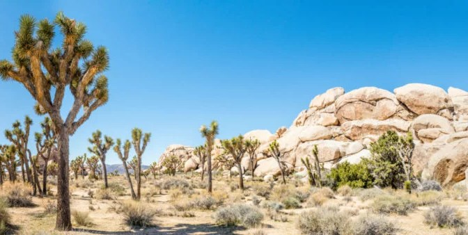 JOSHUA TREE NATIONAL PARK EXPECTING A VERY BUSY SPRING