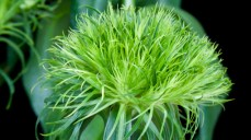 Dianthus barbatus n'Green Trick'