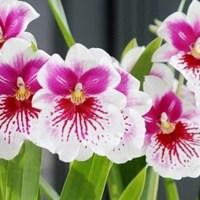 Orchideeënspektakel op Keukenhof en Miltonia plant van de maand.