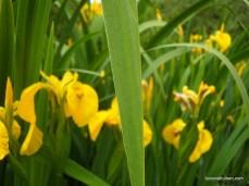 Iris in Poelenburg's Darwinpark