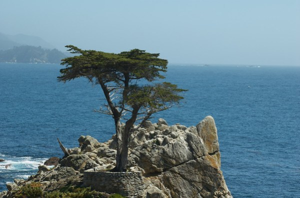 Signature Tree of Pebble Beach Golf Course