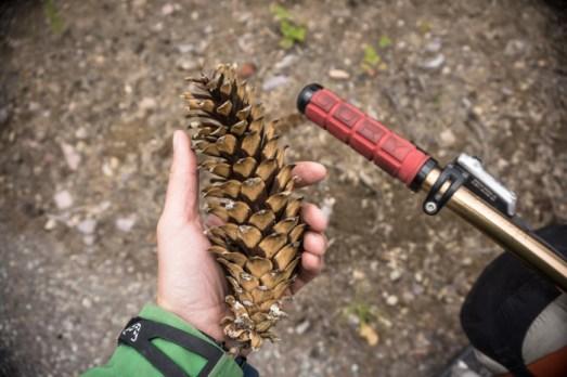 Big Ol' White Pine Cones
