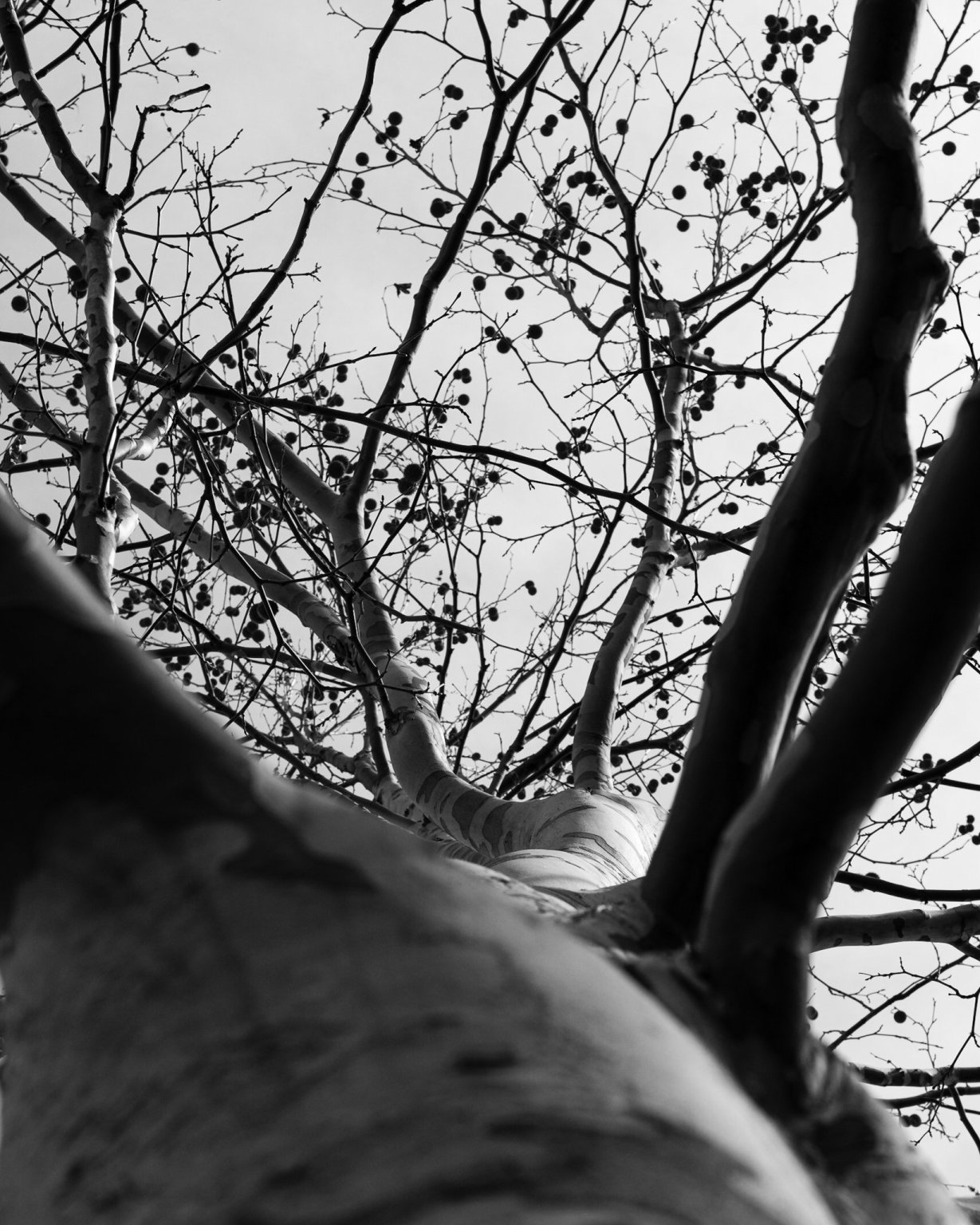 Looking up the trunk of a busy, monochrome plane tree
