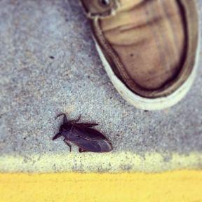 largest roach