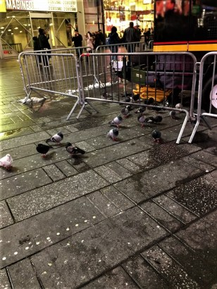 The biggest pigeons ever