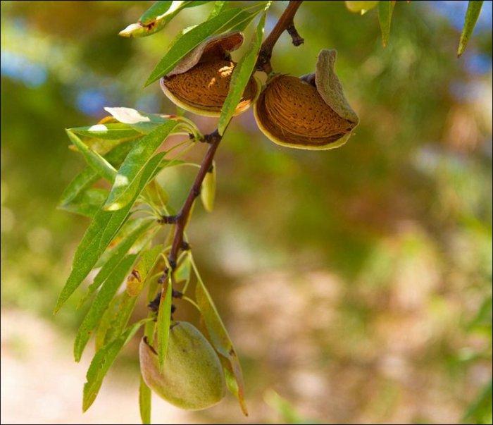 Как растут экзотические фрукты, овощи и пряности (32 фото)